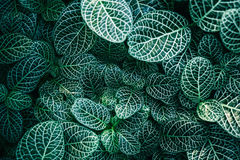 Close Up Photo of White and Green Color Leaves Royalty Free Stock Photography
