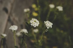 Close-up Photo of White Petaled Flowers at Daytime Royalty Free Stock Image