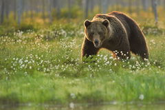 Close up photo of a wild, big  Brown Bear, Ursus arctos, male in flowering grass. Stock Photos