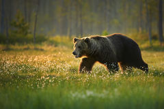 Close up photo of a wild, big  Brown Bear, Ursus arctos, male in movement  in flowering grass. Blurry arctic forest in background, lit by early morning Stock Photography