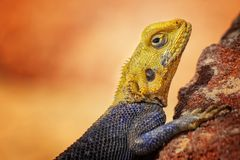 Close up photo of yellow and blue colored lizard, rock agama. It is wildlife photo of animal in Senegal, Africa. Agama posing on. Rock against blurred royalty free stock photo