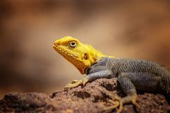 Close up photo of yellow and blue colored lizard, rock agama. It is wildlife photo of animal in Senegal, Africa. Agama posing on. Rock against blurred stock images