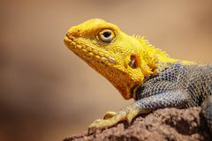 Close up photo of yellow and blue colored lizard, rock agama. It is wildlife photo of animal in Senegal, Africa. Agama posing on. Rock against blurred stock photography