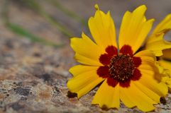 Close up photo of a yellow and brown wildflower on a kitchen counter top Stock Photography