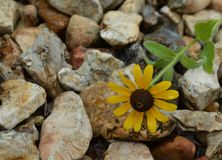 Close up photo of a yellow and brown wildflower on river rocks Royalty Free Stock Image