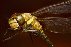 Close Up Photo of Yellow Dragonfly Stock Photography