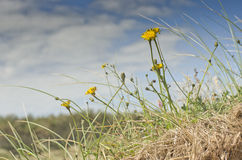 Close up photo of yellow flowers, grass on meadow. Landscape,UK Stock Image