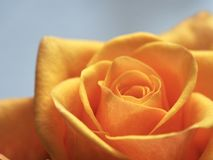 Close Up Photo of Yellow-Orange Rose stock photo