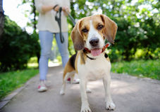 Close up photo of young woman walking with Beagle dog in the summer park. Obedient pet with his owner stock photos