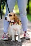 Close up photo of young woman walking with Beagle dog in the summer park. Obedient pet with his owner Stock Photography
