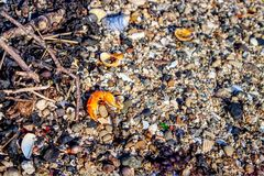 A close up photograph of a beach with the princer of crab. A close up photograph of a beach in crisp detail with a detached pincer from a crab, some seashells stock images