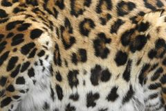 Crouching Leopard Close Up of Spots. A close up photograph of the beautiful patterned fur of a crouching leopard / jaguar Royalty Free Stock Photography