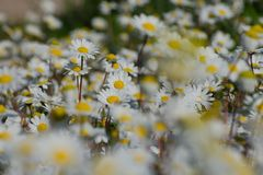 Chamomile field on a sunny day. Close up photograph of a chamomile field on a sunny day royalty free stock photography
