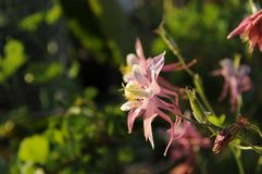 Columbine Flower pink white and yellow Royalty Free Stock Images