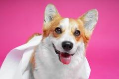 Close-up photograph of a Corgi dog with its tongue hanging out