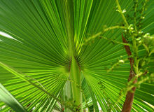 Green yellow juicy palm tree leaf. A close-up photograph of a fan palm leaf, Cuba, juicy color Royalty Free Stock Photo