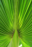 Vertical palm tree juicy leaf. A close-up photograph of a fan palm leaf, Cuba, juicy color Royalty Free Stock Images