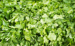 Close up photograph of Fresh Cilantro Stock Photo