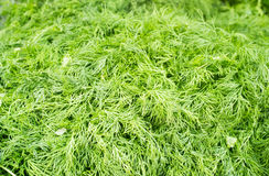 Close up photograph of Fresh Dill Stock Image