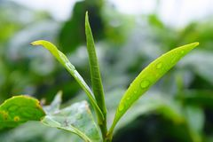 Water Drops on Fresh Green Leaves of Tea Plant - Camellia Sinensis. This is a close up photograph of fresh, green leaves of tea plant - camellia sinensis... The Stock Images