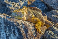 Galapagos Land Iguana Panorama, Ecuador. Close up photograph of a Galapagos land iguana, Conolophus Subcristatus, heating up in the sun on South Plaza island at royalty free stock image