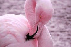 Pink Flamingo Preening royalty free stock image