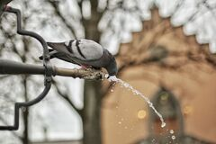 A Close Up Photograph of a Grey and Black Bird Drinking a Water Royalty Free Stock Images