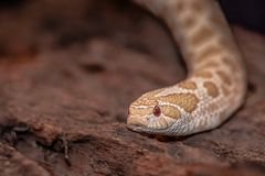 Albino western hognose snake. A close up photograph of the head and part of the body of an albino western hognose snake royalty free stock photos