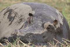 Close up photograph of hippopotamus taking a nap Stock Photos