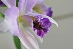 Close up of `Blue Lagoon` Orchid. Close up photograph of lavender with blue and white colored orchid `Blue Lagoon` Orchid growing in San Diego California royalty free stock photo