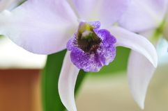 Close up of `Blue Lagoon` Orchid. Close up photograph of lavender with blue and white colored orchid `Blue Lagoon` Orchid growing in San Diego California royalty free stock photography