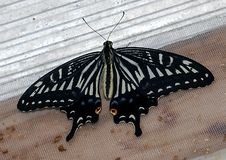 Lime Swallowtail Butterfly. A close up photograph of a Lime Swallowtail butterfly sitting on a window sill stock images