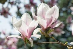 Close-Up Photograph of a magnolia blossom Stock Image