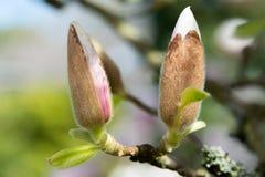 Close-Up Photograph of a magnolia blossom Royalty Free Stock Photo