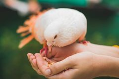 Close Up Photograph Of Person Feeding White Pigeon Royalty Free Stock Images