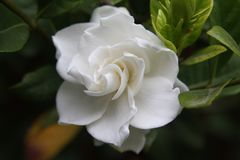 Gardenia Flower Close Up Stock Photos