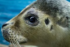 Close up photograph of a seal Royalty Free Stock Photo