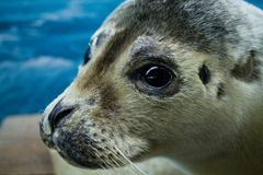 Close up photograph of a seal Royalty Free Stock Images