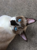 A close up photograph of a siamese cat lying relax on the floor Stock Photos