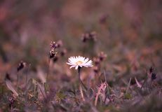 Daisy flower growing in a lawn stock photos