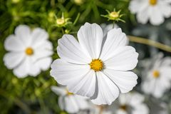 Cosmos Flowers. A close up photograph of a white cosmos flower, with a shallow depth of field stock photos
