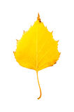 Close-up Photograph of a withering autumnal birch tree leaf isol Stock Photo