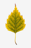 Close-up Photograph of a withering autumnal birch tree leaf isol Royalty Free Stock Photos