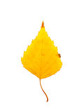 Close-up Photograph of a withering autumnal birch tree leaf isol Royalty Free Stock Photography