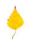 Close-up Photograph of a withering autumnal birch tree leaf isol Royalty Free Stock Image