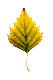 Close-up Photograph of a withering autumnal birch tree leaf isol Stock Photos
