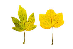 Close-up Photograph of a withering autumnal fig tree leaves isol Stock Photos