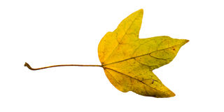 Close-up Photograph of a withering autumnal fig tree leaves isol Stock Photography