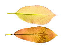 Close-up Photograph of a withering autumnal leaf isolated on white background. Close-up Photograph of a withering autumnal leaves isolated on white background in royalty free stock photos