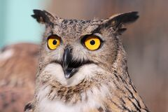 Close Up Photography of African Owl Stock Image